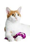 Красный и белый кот при пурпуровая изолированная тесемка Стоковое Изображение RF