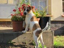 Красный и белый щенок представляя около цветочных горшков Стоковая Фотография RF