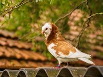 Красный и белый голубь на крыше Стоковые Изображения