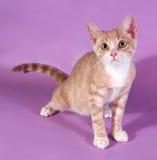 Красный и белый котенок стоя на пурпуре Стоковые Изображения