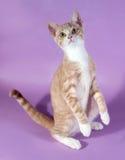 Красный и белый котенок стоя на пурпуре Стоковые Фото