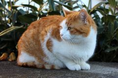 Красный и белый кот сидя в свете вечера Стоковая Фотография
