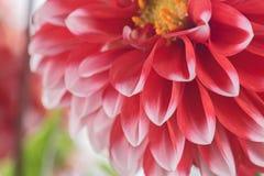 Красный и белый цветок георгина Стоковое фото RF