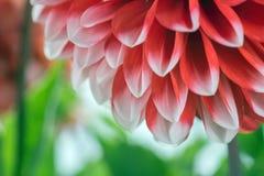 Красный и белый цветок георгина Стоковое Изображение