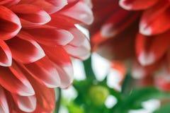 Красный и белый цветок георгина Стоковое Изображение RF