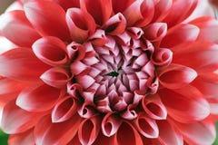 Красный и белый цветок георгина Стоковые Фотографии RF