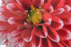 Красный и белый цветок георгина Стоковые Фото