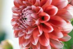 Красный и белый цветок георгина Стоковая Фотография RF