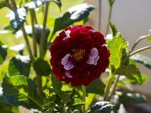 Красный и белый цветок георгина Стоковые Изображения
