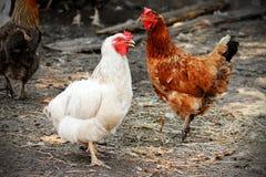 Красный и белый цыпленок Стоковые Фото