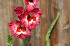 Красный и желтый показной запас цветеня Gladiola Стоковое Фото