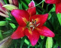 Красный и желтый цветок лилии Стоковые Фото