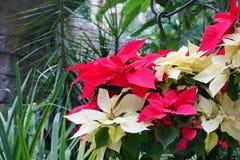 Красный и желтый цветок рождества Poinsettias Стоковые Фотографии RF