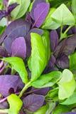 Красный и зеленый базилик Стоковые Фотографии RF