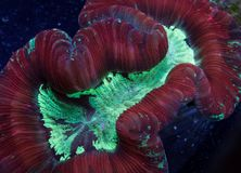 Красный и зеленый коралл trachyphyllia Стоковое Фото
