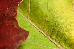 Красный и зеленый макрос кленового листа Стоковые Фотографии RF