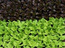 Красный и зеленый салат листьев Стоковые Изображения