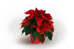 Красный и зеленый завод Poinsettia на белой предпосылке Стоковое Изображение RF