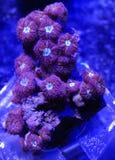 Красный и зеленый коралл Blastomussa Стоковое Изображение RF