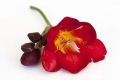 Красный и оранжевый цветок Стоковое Изображение
