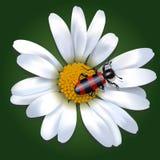 Красный и черный жук на цветке маргаритки иллюстрация штока