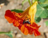 Красный и черный жук на цветке настурции стоковые фото