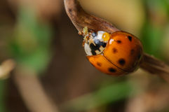 Красный и черный Ladybug Стоковые Изображения