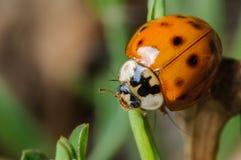 Красный и черный Ladybug Стоковое фото RF