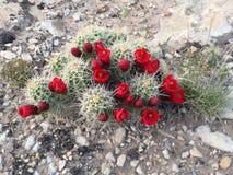 Красный кактус бочонка в цветени Стоковые Фотографии RF
