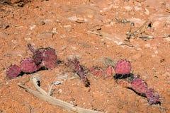 Красный кактус шиповатой груши в юго-западе Стоковая Фотография RF