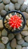 Красный кактус Стоковое фото RF