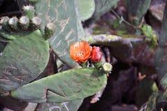 Красный кактус Стоковые Изображения RF