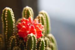 Красный кактус Стоковая Фотография