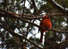 Красный кардинал в зиме стоковое изображение