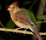 Красный кардинал Стоковая Фотография
