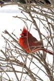 Красный кардинальный отдыхать в ветвях Стоковое Фото