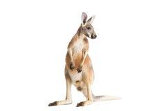 Красный кенгуру на белизне Стоковые Фотографии RF