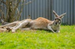 Красный кенгуру Стоковое фото RF