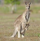 Красный кенгуру Стоковые Фото