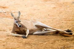 Красный кенгуру Стоковые Фотографии RF
