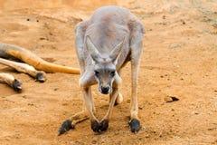 Красный кенгуру Стоковые Изображения RF