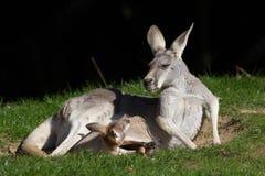 Красный кенгуру Joey в мешке смотря мать Милое животное meme Стоковое фото RF