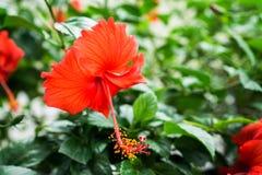 Красный китаец цветок поднял, ботинка или цветок красного гибискуса с зелеными листьями, Стоковые Изображения RF