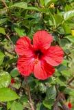 Красный китайский цветок гибискуса Стоковая Фотография RF