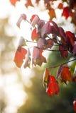 Красный кленовый лист и солнечный свет на национальном парке Phu Kradueng, Таиланде Стоковая Фотография