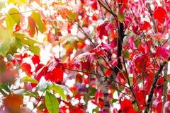 Красный кленовый лист и солнечный свет на национальном парке Phu Kradueng, Таиланде Стоковые Фото