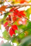 Красный кленовый лист и солнечный свет на национальном парке Phu Kradueng, Таиланде Стоковое Изображение RF