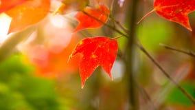 Красный кленовый лист и солнечный свет на национальном парке Phu Kradueng, Таиланде Стоковые Фотографии RF