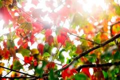 Красный кленовый лист и солнечный свет на национальном парке Phu Kradueng, Таиланде Стоковое Фото
