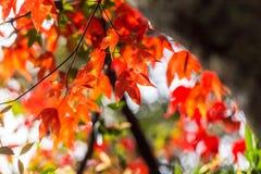 Красный кленовый лист и солнечный свет на национальном парке Phu Kradueng, Таиланде Стоковые Изображения RF